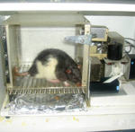 Tight Quarters In Conventional Rat Experiments